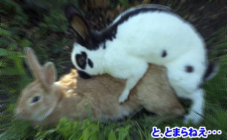 ウサギの交尾